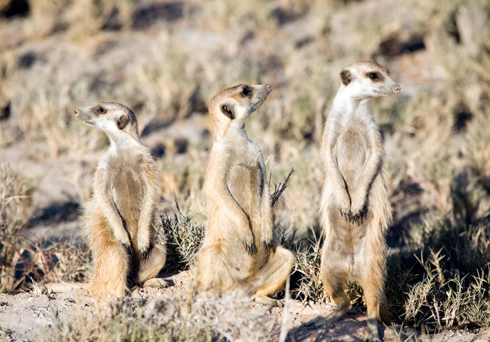 iStock-94973672-Meerkats